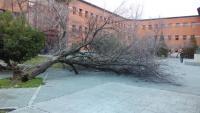 Árbol caído en la plaza del Cervantes
